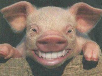 sourireCochon.jpg