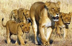 lionne-lionceaux