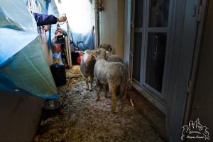 moutons sur balcon Marseille