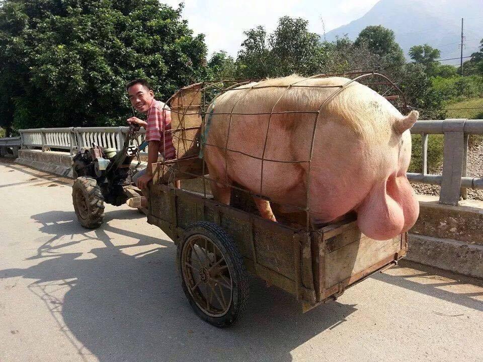 av cochon
