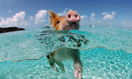 cochon-nageur