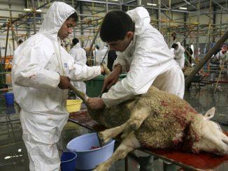 abattage-halal.jpg